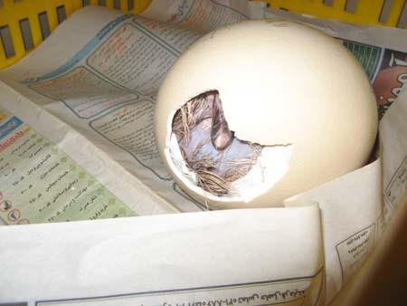 جوجه شترمرغ در حال تولد