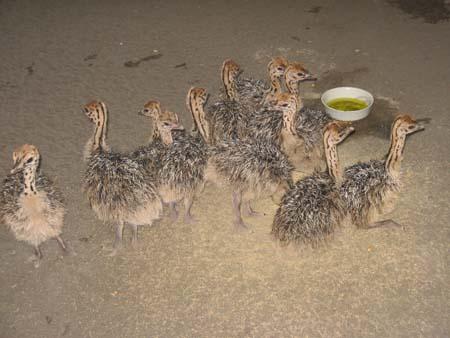 جوجه شترمرغ های یك هفته ای - ostriches