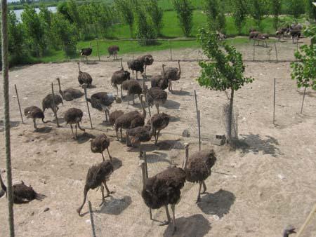 نمایی از مزرعه پرورش شترمرغ-ostrich-farm